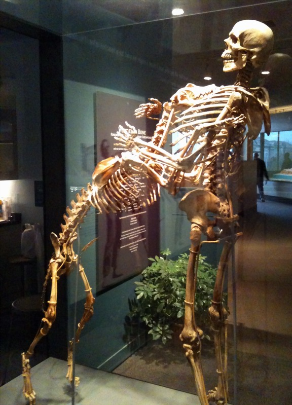 The skeletons of Grover Krantz and Clyde at the Smithsonian.  Image Credit: Anders Sandberg via Flickr.