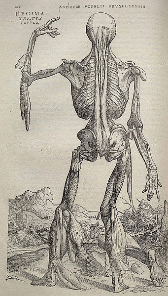 rom Andreas Vesalius' ''De humani corporis fabrica'' (1543) via Wikipedia.