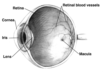 Cross-section of the human eye.  Image from Wikipedia.