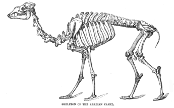 Skeleton of a camel from the Royal Natural History Volume 2.  Image credit: Wikipedia